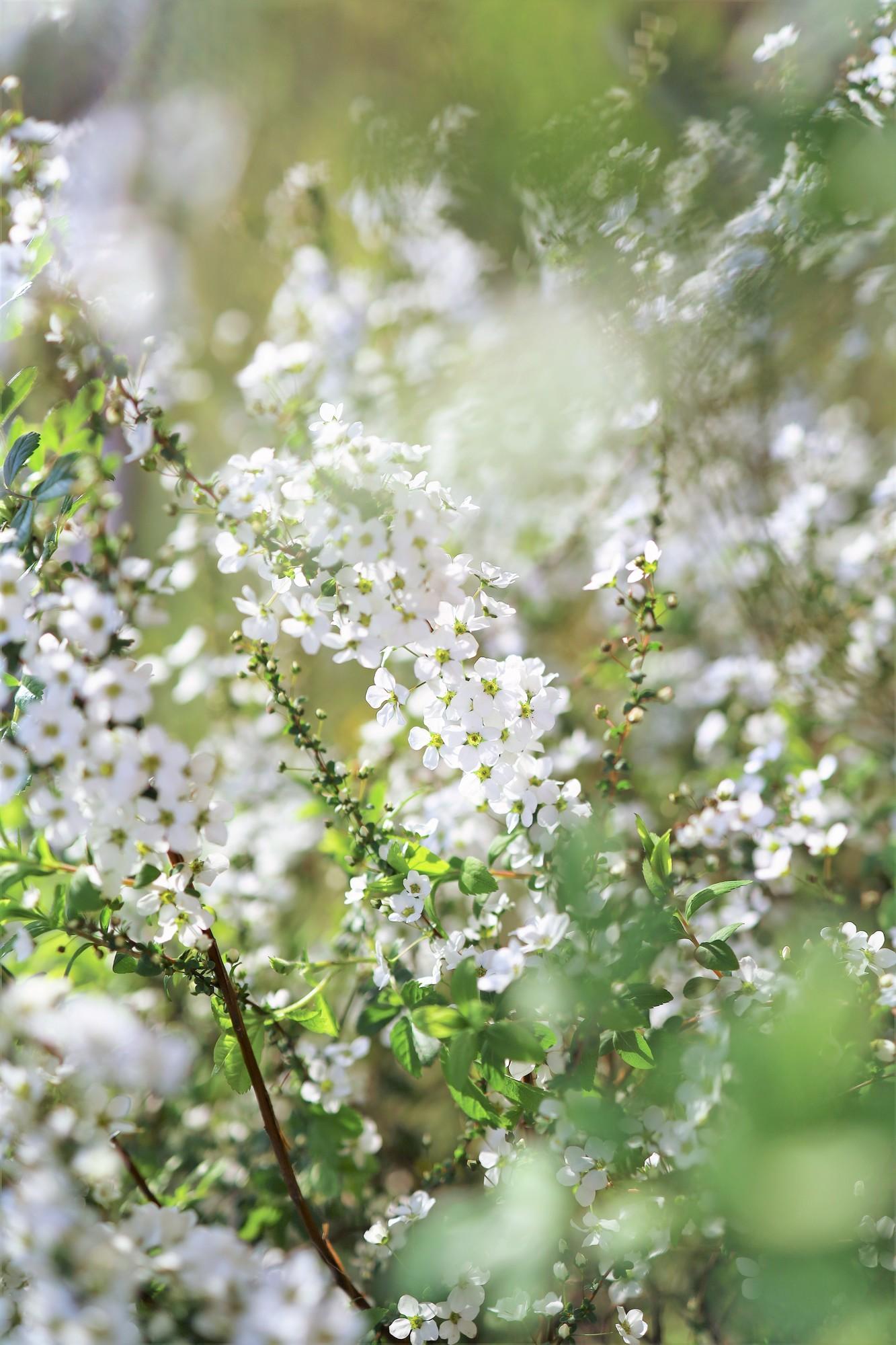蝋梅と同じく、春の訪れを告げる花木の一つである、「雪柳(ゆきやなぎ)」。大体1月~3月に出回ります。