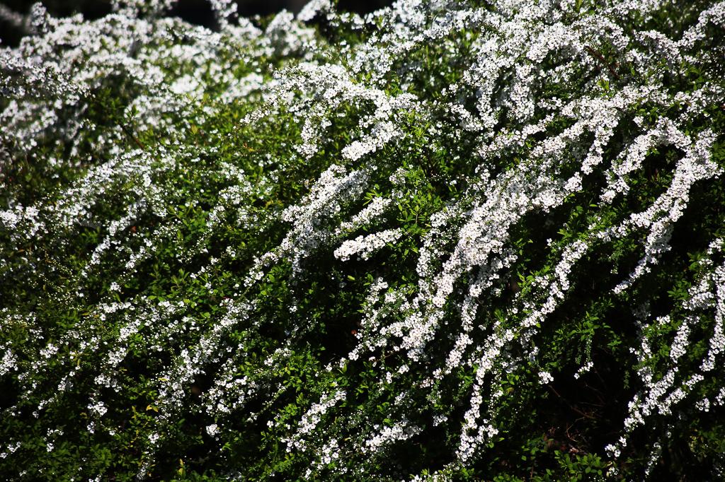 柳のようなしなやかなな枝に沿って、枝全体に白い小花をつける姿は、遠くから見るとまるで、枝に降り積もった雪のような姿でとても美しいのです。