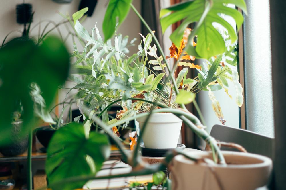 「購入する場所は、特に決めておらず、偶然出会って良いものがあれば持ち帰るという流れの中で増えています。カッコいい系の植物よりも、フォルムも含めて可愛らしい感じの植物が好きですね。」