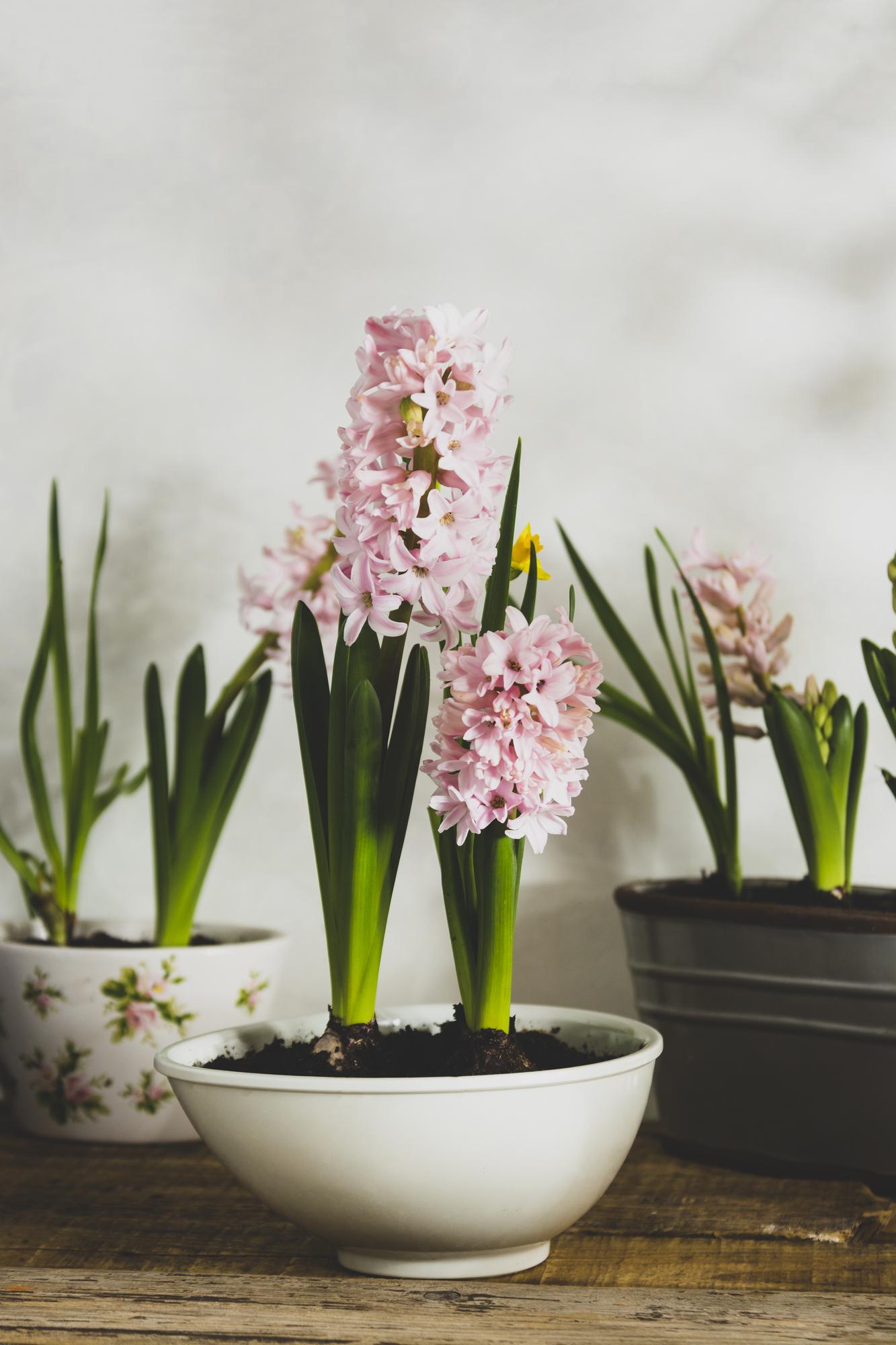 春のお花の中でも香りが高いヒヤシンスは、玄関に置くのがおすすめ。来客があったときにも、もちろんご自身が帰ってきたときにも。お部屋の第一印象が良くなり、安心感も得られます。