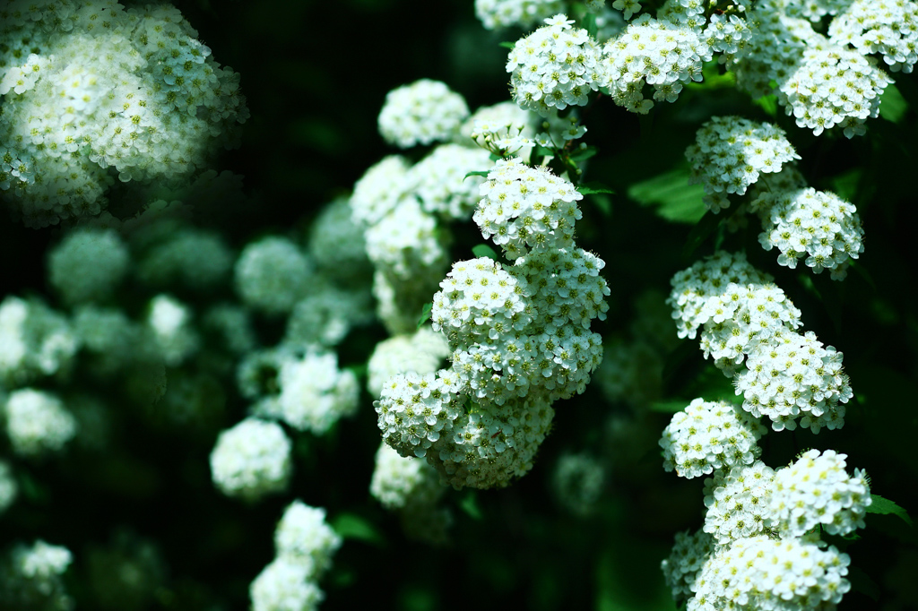 白く多数の花を咲かせるコデマリ。4~5月が出回る時期で、街を歩いていても、住宅の軒先で見かけることの多くなります。春の代表的なお花です。