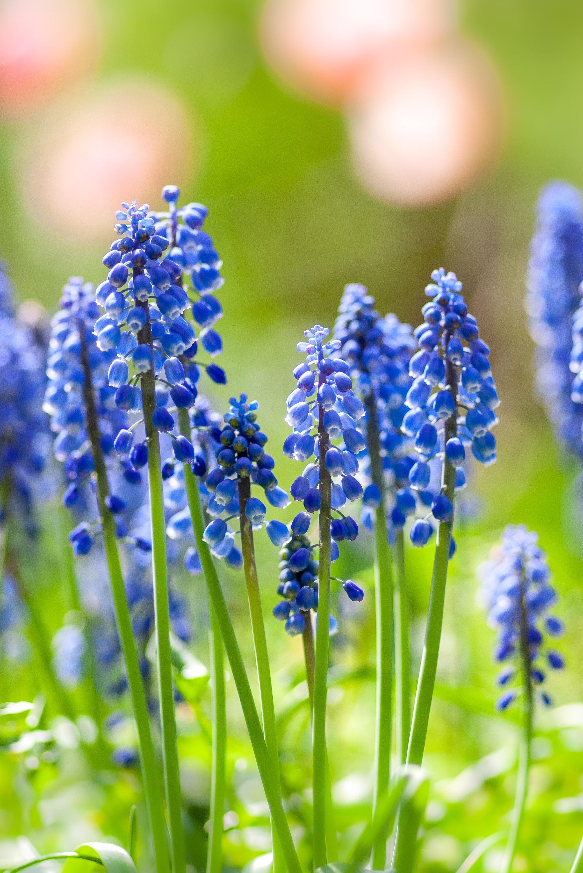草丈15cmくらいの、小さな球根植物である「ムスカリ」。球根がついたままの切り花も販売されていて、それがまた可愛らしく、ブドウのような花を咲かせます。