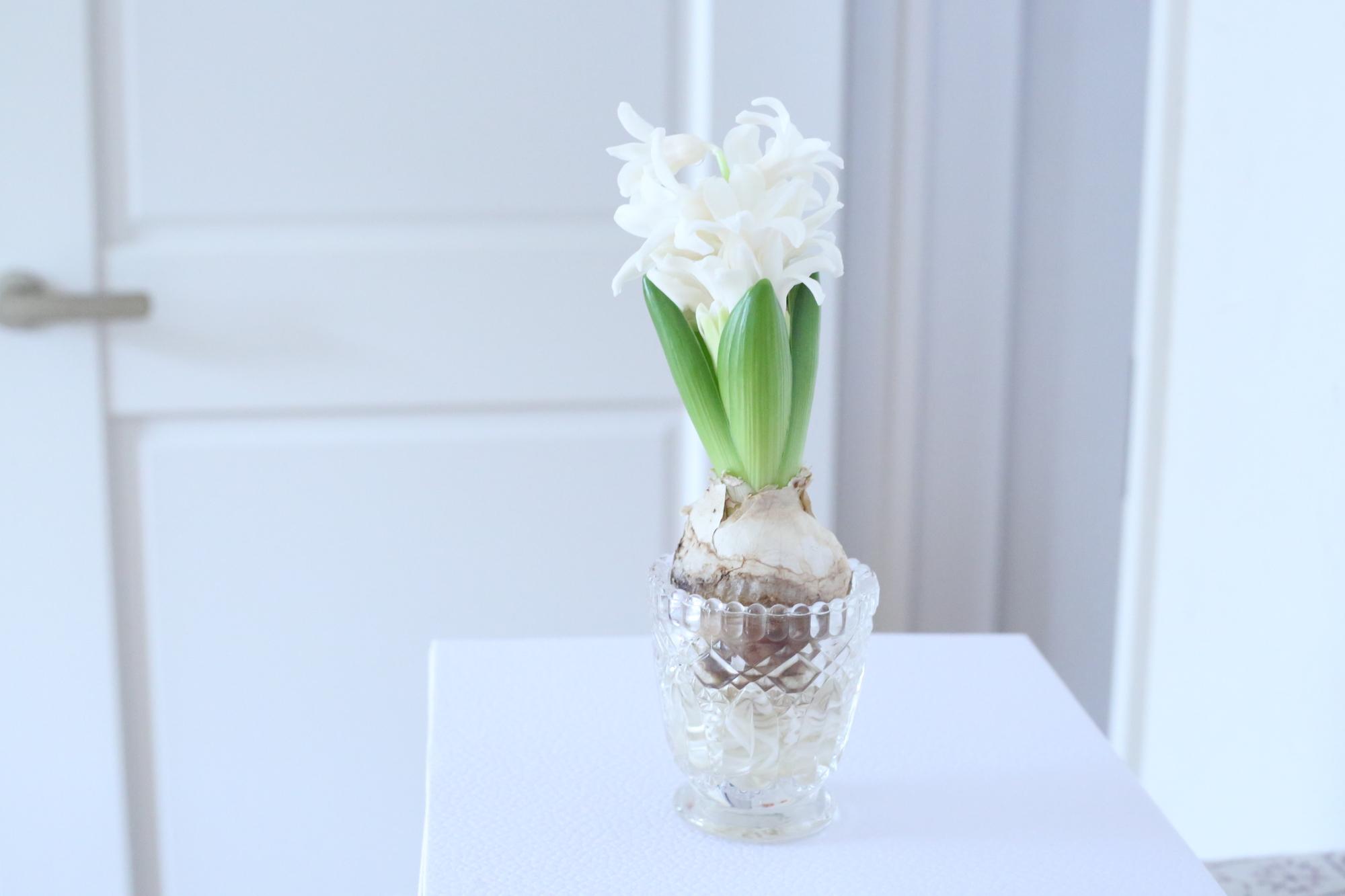 球根の状態から水耕栽培で育てるため、ゆっくり時間をかけて花が咲くまでの時間を楽しめます。