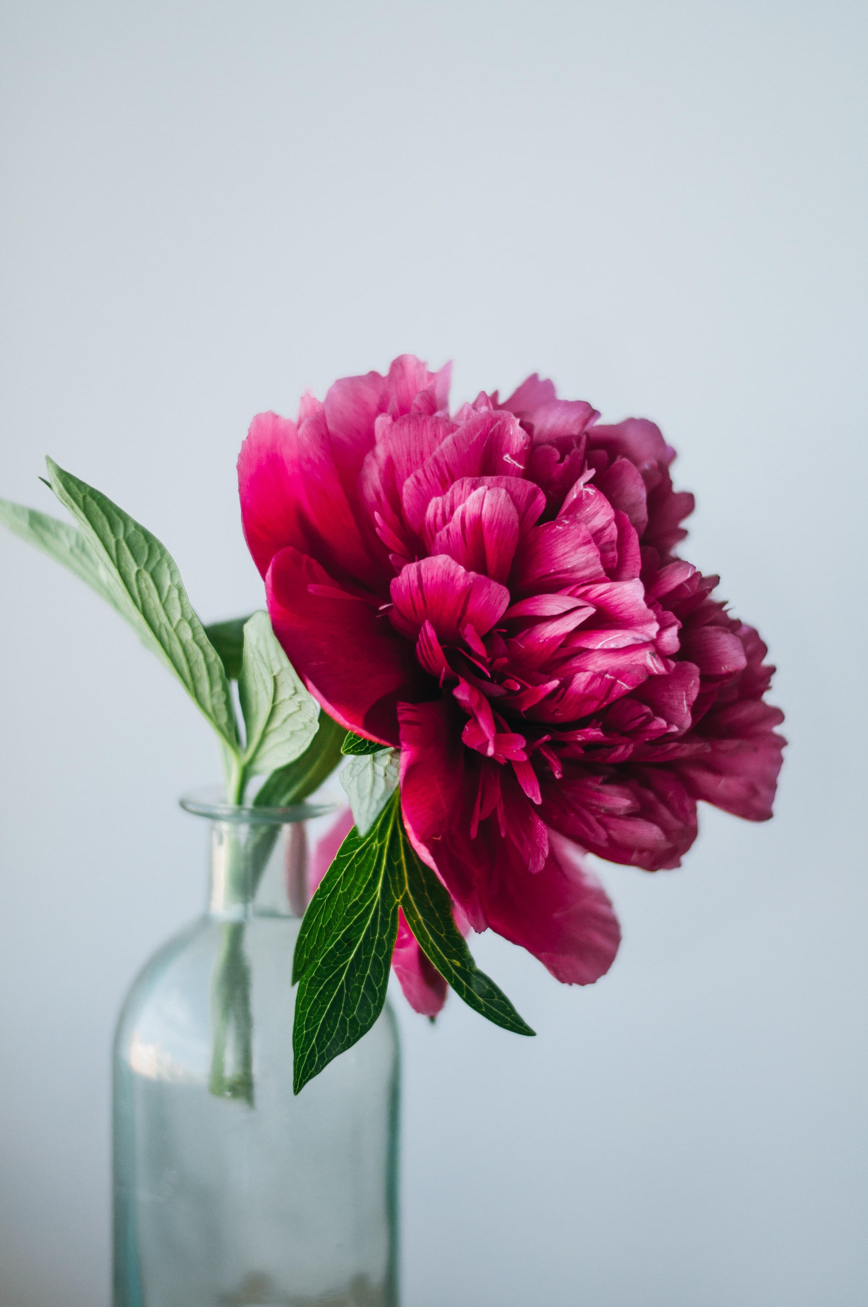 「立てば芍薬、座れば牡丹」といわれるように、高貴な美しさを漂わせ、豪華でエレガントな印象。ほころびかけているつぼみの状態のものを選ぶと、徐々に花が開いていく様子を見ることができます。様々な表情を長く楽しめるので、送り主のことを何度も思い出すきっかけになるかも。