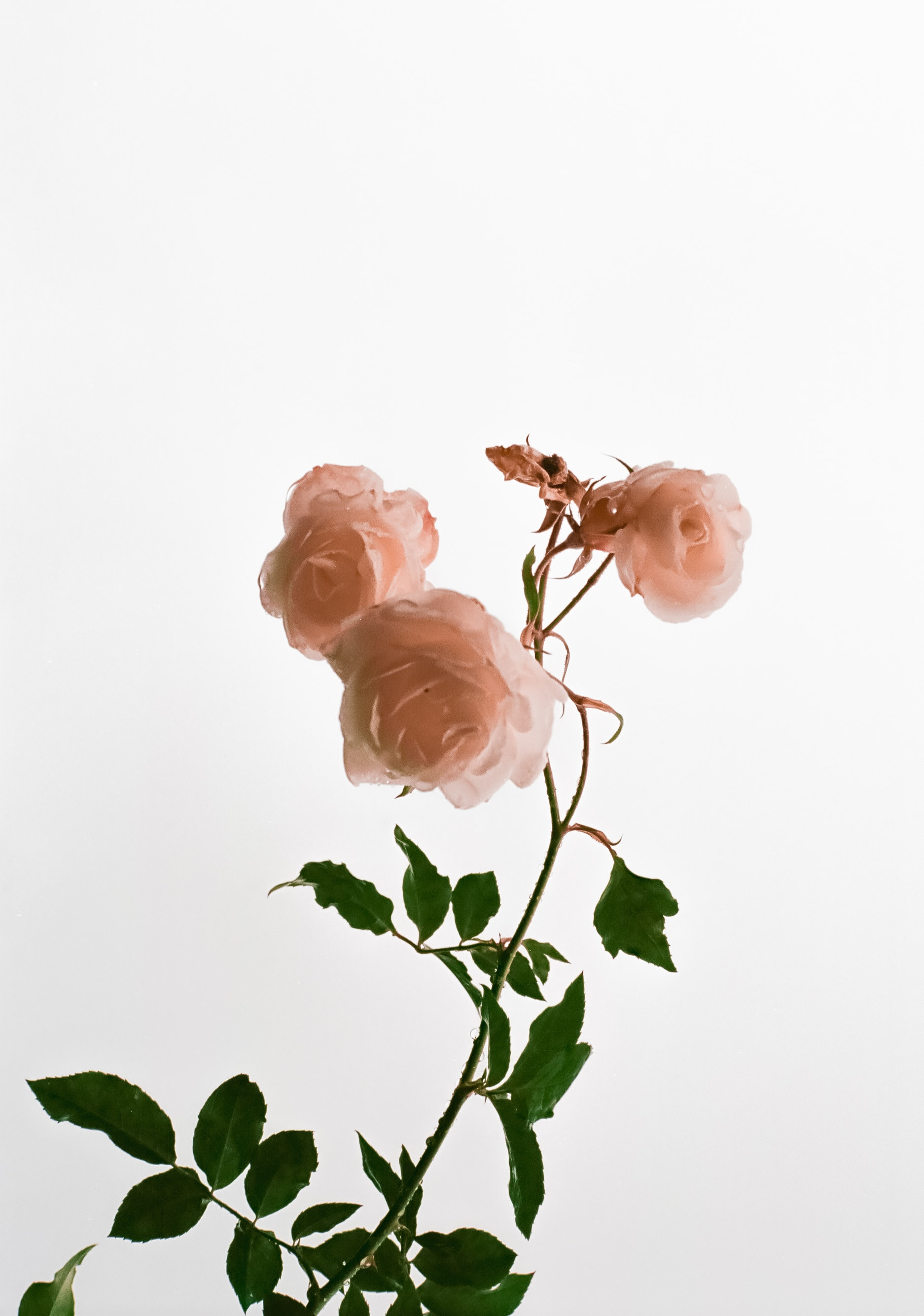 開花期は5~6月のものが多いと言われている、言わずと知れた「花の女王」。華やかでエレガントなものから、少しくすんだカラーなどのナチュラルな雰囲気のものまで、種類が豊富にあります。