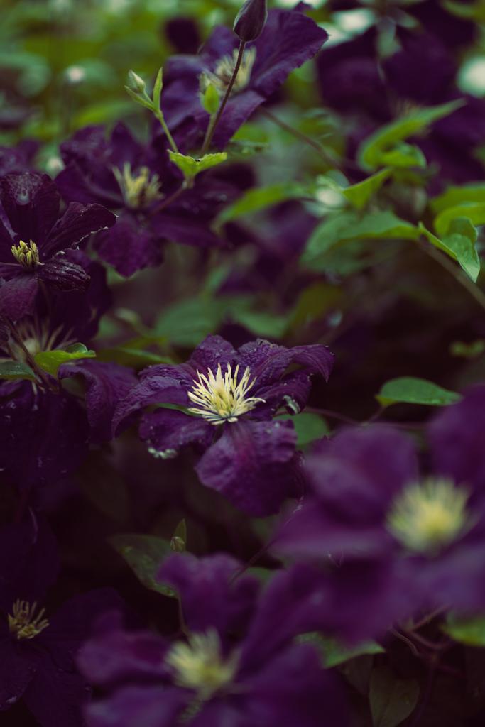 様々な品種があり、春だけに咲く「一季咲き」、春から秋にかけて何度も開花する「四季咲き」があります。花言葉は「心の美」。