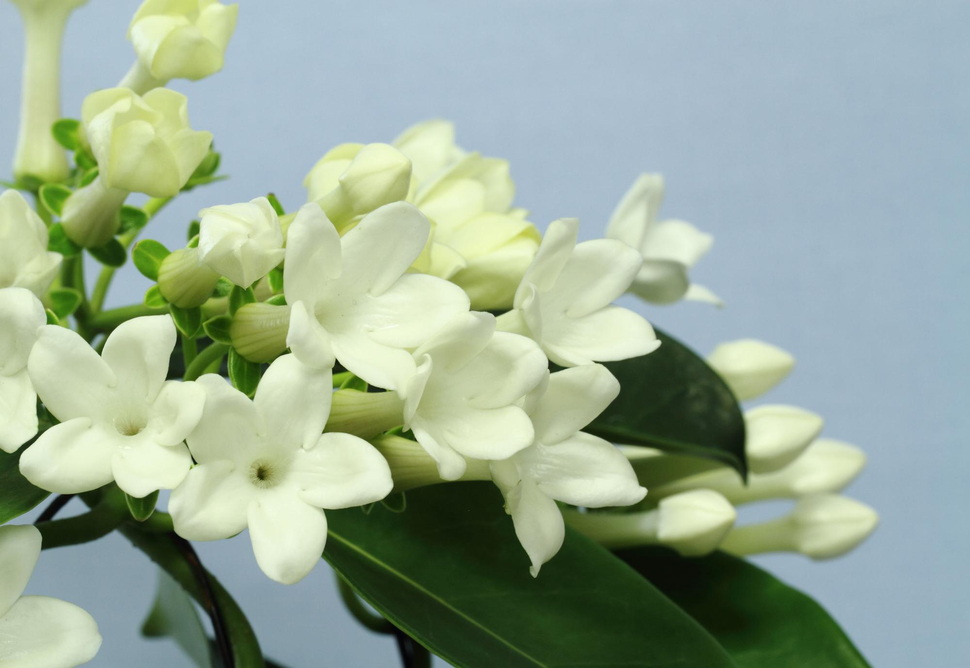 芳醇な香りを持ち、純白の花を咲かせるお花。マダガスカル原産で花の香がジャスミンに似ているため、この名がついたと言われています。