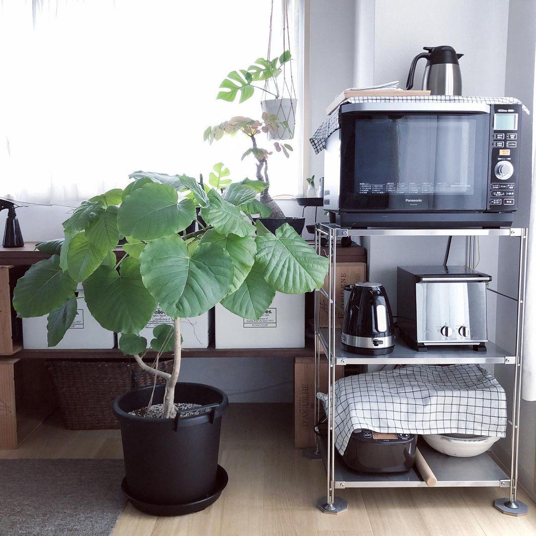 こちらは、小さな鉢植えからここまで大きくなったというウンベラータ。「見上げるくらいの高さまで育てたいですね」