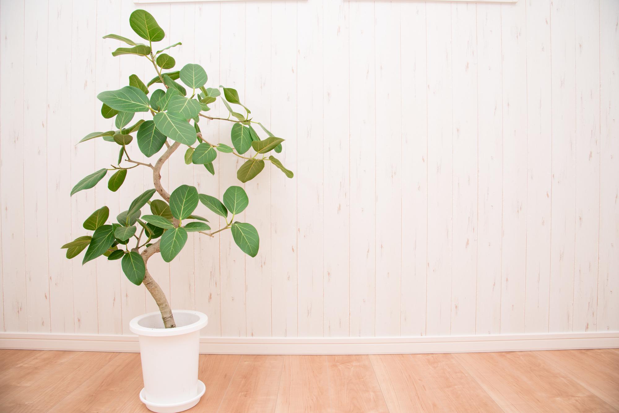 写真はゴムの木の種類の一つ「フィカス・ベンガレンシス」。とても人気の観葉植物です。