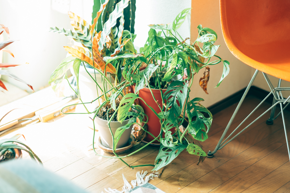 「植物は常にスペースから逆算して購入するようにしています。気に入った植物を買ってからどこに飾ろうかと悩むのではなくて、「この場所にこういう色、形の植物があったらいいな」というのを先に決めておいて、そのイメージに近い植物に出会ったら購入するという流れですね。その方が無駄なく飾ることができるし、トータルでバランスのいい景色をつくることができるんです。」