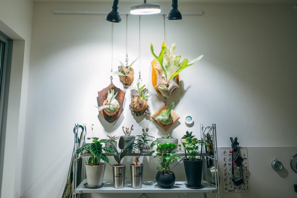 緑溢れる空間は室内にもありました。 「室内はビカクシダ属を中心に揃えていきました。床にあまり接してないないため、インテリアとして結構空間を有効活用できるのも良かったです。」