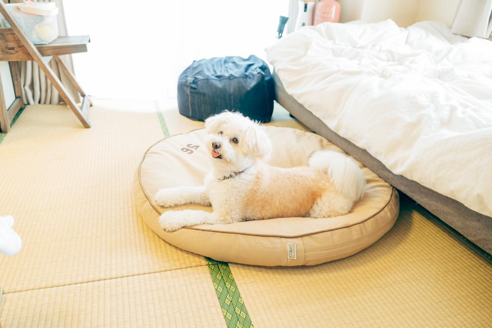 和室で愛犬のコロンちゃんが寛いでいたのはLlbeanのプレミアムデニムドッグベッド。犬はもちろん人間も昼寝できる大きさが特徴的。